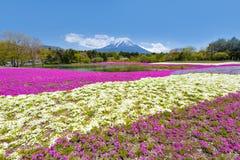 Fuji Mountain and Pink Shibazakura Garden Festival in Sunny Day at Shizuoka. Fuji Mountain and Shibazakura Festival in Spring Stock Photos