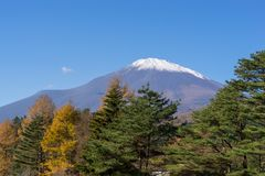 Fuji Mountain under blue sky with Pine tree as foreground. Fuji Mountain under bright blue sky with green pine tree in foreground , Japan Stock Image