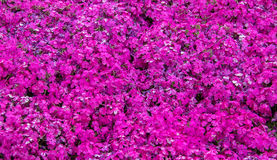Fuji Pink Moss background view. In the winter season Stock Photo