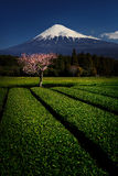 Fuji with Plum Blossom and Green Tea Stock Photos
