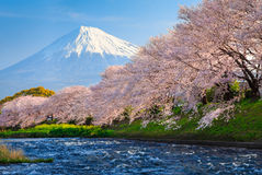 Fuji and Sakura. At river in the morning