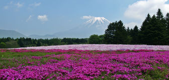 Fuji Shibazakura. View of Mount Fuji from the shibazakura flower event which held every year in Yamanashi, Japan Royalty Free Stock Photo