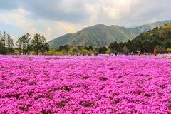 Fuji Shibazakura Fastival,Fujikawaguchiko,Minamitsuru Yamanashi,JAPAN. Phlox subulata in pink carpet appearance Stock Image