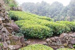 FUJIAN, CHINA - 24 de dezembro de 2015: Plantação de chá na cidade de Xiping um fá imagens de stock