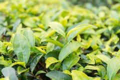 FUJIAN, CHINA - 24 de dezembro de 2015: Plantação de chá na cidade de Xiping um fá fotos de stock royalty free