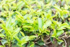 FUJIAN, CHINA - 23 de diciembre de 2015: El jardín de té magnífico de la visión un famoso Foto de archivo