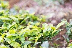 FUJIAN, CHINA - 24 de diciembre de 2015: Plantación de té en la ciudad vieja de Xiping Fotos de archivo libres de regalías