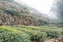 FUJIAN, CHINA - 24 Dec 2015: Theeaanplanting in de Oude Stad van Xiping Royalty-vrije Stock Foto's