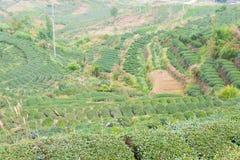 FUJIAN CHINY, Dec, - 24 2015: Herbaciana plantacja w Xiping miasteczku fa Fotografia Royalty Free