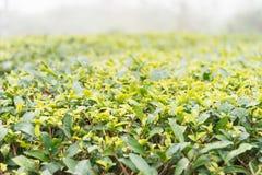 FUJIAN CHINY, Dec, - 24 2015: Herbaciana plantacja w Xiping Starym miasteczku Zdjęcie Stock