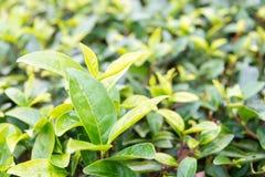 FUJIAN CHINY, Dec, - 24 2015: Herbaciana plantacja w Xiping Starym miasteczku Obrazy Royalty Free