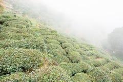 FUJIAN CHINY, Dec, - 24 2015: Herbaciana plantacja w Xiping Starym miasteczku Fotografia Stock