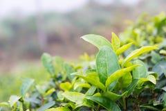 FUJIAN CHINY, Dec, - 24 2015: Herbaciana plantacja w Xiping Starym miasteczku Zdjęcie Royalty Free