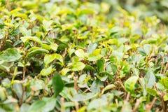 FUJIAN CHINY, Dec, - 24 2015: Herbaciana plantacja w Xiping Starym miasteczku Obraz Royalty Free