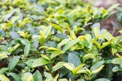 FUJIAN CHINY, Dec, - 24 2015: Herbaciana plantacja w Xiping Starym miasteczku Fotografia Royalty Free