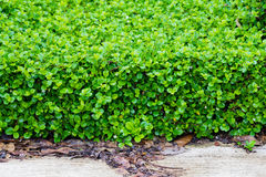 Fujian tea tree bush, fujian tea shrub, garden green plant Royalty Free Stock Images