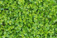 Fujian tea tree bush, fujian tea shrub, garden green plant backg Stock Photography