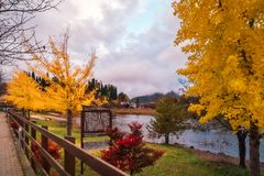 Autumn Trees on the side of Lake Kawaguchiko, Japan. Fujikawaguchiko, Japan -November 9, 2018: Autumn street with yellow trees at Fujikawaguchiko, a Japanese stock images