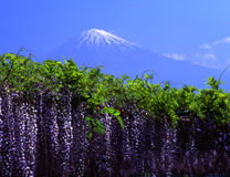 Fujisan 159. Wisteria trellis with Mt. Fuji Royalty Free Stock Images