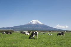 Fujisan and Cows. Fujisan and Milk Cows in farm Stock Image