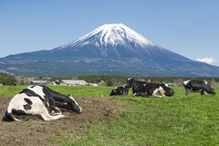 Fujisan and Cows. Fujisan and Milk Cows in farm Stock Photo