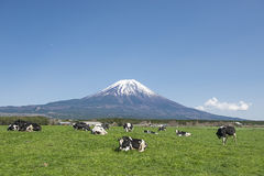 Fujisan and Cows Stock Photo