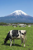 Fujisan and Cows Royalty Free Stock Photo