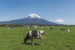 Fujisan en Koeien Stock Afbeelding