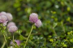 Fukian herbaciany kwiat (Carmona retusa) Zdjęcie Royalty Free