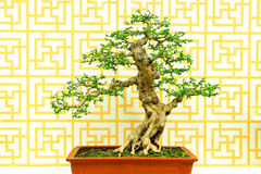 Fukien tea carmona microphylla bonsai plant Stock Photos