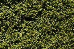Fukien tea garden. Fukien tea Background Carmonretusa(Vahl) Masam Royalty Free Stock Photography