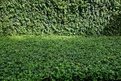 Coat buttons and Fukien tea tree (Carmona retusa) green background Stock Images
