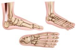 Fußknochen Stockfoto