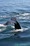 fuksa humpback Zdjęcie Stock