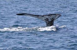 fuksa wieloryb Zdjęcia Royalty Free