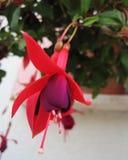 Fuksja kwiat Zdjęcia Royalty Free