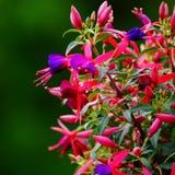 Fuksja kwiat Zdjęcie Stock