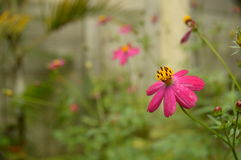 Fuksja kwiat zdjęcia stock