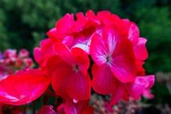 Fuksja kwiat Zdjęcie Royalty Free