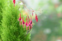 Fuksja kwiat Fotografia Stock