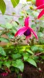 Fuksja kwiat Obraz Stock