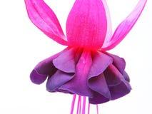 Fuksja kwiat (Nowy milenium) Obrazy Stock