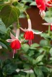 Fuksja kwiaty Zdjęcie Stock