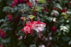 Fuksja w ogródzie Fotografia Stock