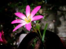 Fuksji menchii dziki kwiat w garnku fotografia royalty free
