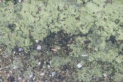 Fuktig grön lav Arkivbild