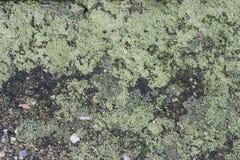 Fuktig grön lav Royaltyfria Foton