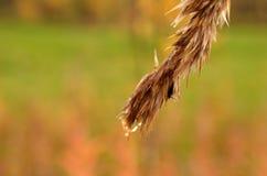 Fuktigt hårigt sugrör i höstnatur arkivfoto
