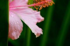 Fuktigt med vattendroppe på den rosa hibiskusen rosa-sinensis i tropisk gräsplanträdgårdbakgrund royaltyfri fotografi