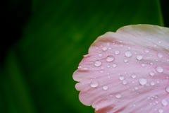 Fuktigt med vattendroppe på den rosa hibiskusen rosa-sinensis i tropisk gräsplanträdgårdbakgrund arkivbild